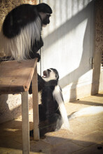 Mum And Baby Of Colobus Guereza Is Playing In A Zoo. They So Nice Relationship