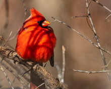 Big Red Male Cardinal On A Branch