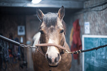 Buckskin Quarter Horse Calmly Standing At The Chains In A Stable