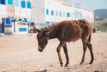 A Scraggy Looking Donkey Foal In The Seaside Village Of Tafedna In Essaouira Province.