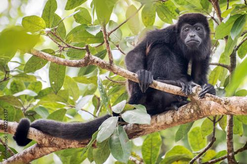 Singe hurleur à manteau ( Alouatta palliata ), ou singe hurlant à manteau doré . parc national Soberania, Panama © brimeux