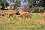 Fototapeta Sawanna - Stado antylop impala (Aepyceros melampus). Rezerwat Samburu (Kenia)