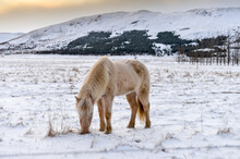 White Horse In A Snowy Field