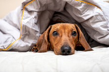 The Dachshund Is Relaxing In A Soft Bed, Covered With A Warm Blanket And Looking At The Camera With His Head On The Sheet. Studio Photography.