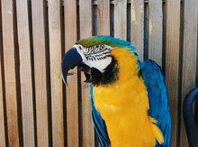 Parrot In Front Of Woden Fence