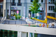 Front View Of A Seagull Sitting On A Wooden Beam In The Harbor Of Greifswald.