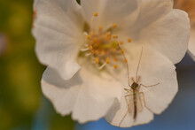 Closeup Shot Of A Dragonfly On A Cherry Blossom Flower
