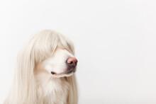 Golden Retriever Dog In A Wig Sitting In The Studio Closeup