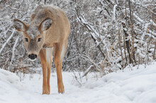 Young White Tail Deer Walking Out Of Winter Forest For Its Close Up