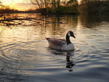 Goose On The Lake In Sunset