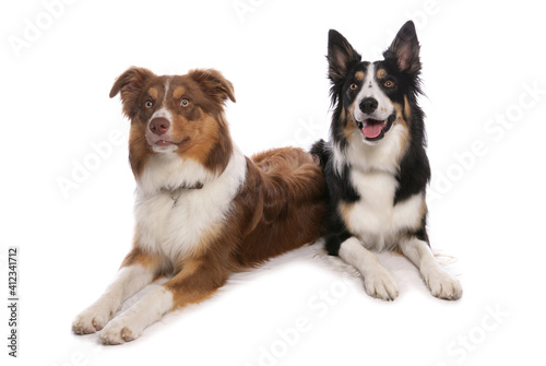 Canvas two tri border collies