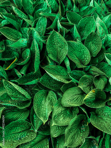 Green plant leaves background, top view. Nature