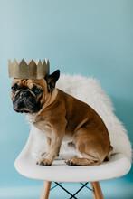 French Bulldog Puppy Dog Wearing A Gold Crown