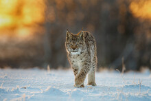 Lynx At Frosty Sunrise. Young Eurasian Lynx, Lynx Lynx, Walks In Snow In Cold Morning. Beautiful Wild Cat In Winter Nature. Beast Of Prey In Natural Habitat. Animal With Spotted Orange Fur.