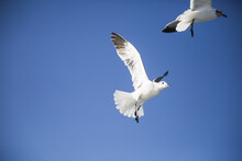 Couple Of Seagulls Flying On A Blue Sky Background