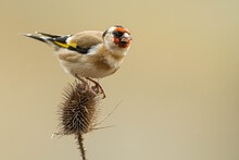 A European Goldfinch (Carduelis Carduelis) Perched On A Teasel To Feed Seeds.
