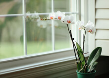 Orchid In Front Of A Window