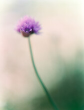 Dreamy Sight Of Chive Flower In Bloom On Film