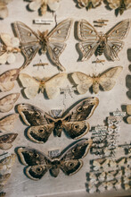 Objects: Aged Collected Butterflies Pinned On A Board