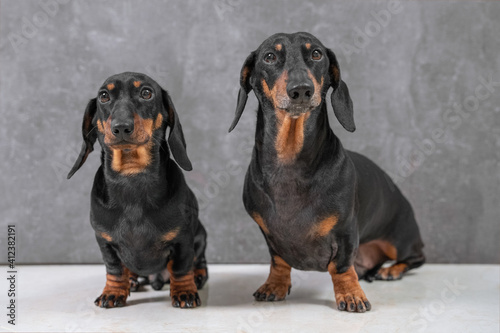 Papel de parede Portrait of two generations of cute black and tan dachshund dogs sitting obediently on gray background, front view, copy space for advertising text