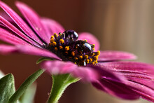 Close-up Of A Magenta Petal Daisy, With Two Raindrops On Its Black Pistil