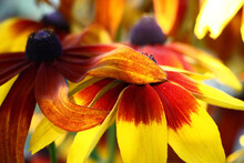 Bright Flowers Of A Rudbeckia With Petals In Yellow And Claret Tones.