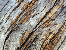 Close Up Of Bark From Fire Damaged And Dead Old Growth Pine Tree