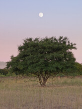 Full Moon Rises Above A Tree In Grassland