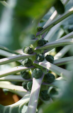 Brussel Sprouts On The Plant In A Vegetable Garden