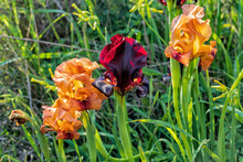 Gold And Purple Flowers Of Iris Argaman Close Up Among The Grass. Israel