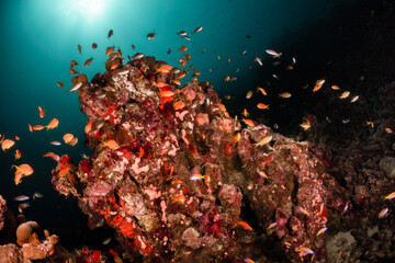 Fototapeta na wymiar Underwater photography, coral reef ecosystem surrounded by tropical reef fish. Colorful reef scene, deep blue water, vibrant reef life