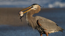 A Great Blue Heron With A Large Fish On The Beach In Florida