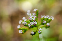 Common Valerian Photographed In Sardinia, Valeriana Officinalis, Macro Photpgraphy