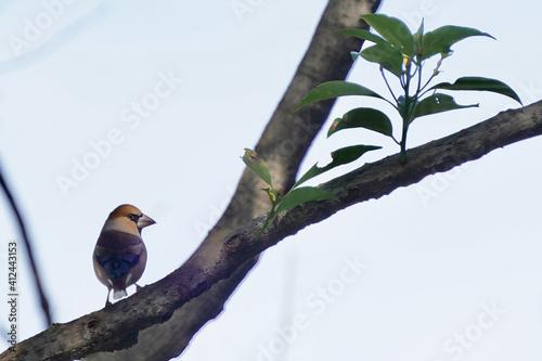 Obraz na plátne hawfinch on the branch
