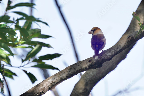 Fotografia, Obraz hawfinch on the branch