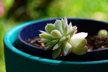 A Green Succulent Is Growing In A Blue Pot
