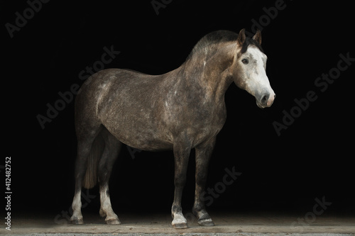 Portrait horse black background Fototapeta