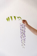 Childrens Hand Holding Out A Blooming Wisteria Flower In Front Of A White Wall.