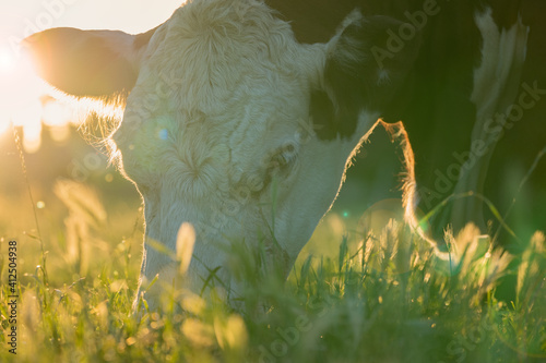 Hereford cow eating grass Fototapet