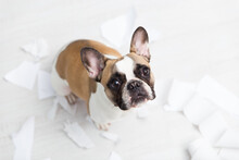 High Angle Portrait Of French Bulldog By Papers On Floor At Home
