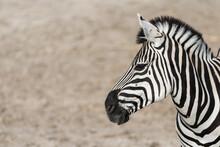 Black White Zebra Head And Neck Portrait.