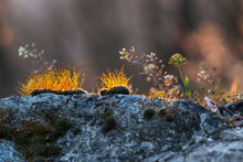 Hard Stone And Moss With Long Orange Shoots Grow On The Surface. Beautiful Warm Bokeh.