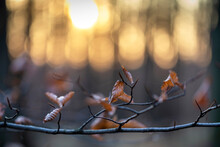 A Branch With Brown Aspen Leaves In The Beautiful Backlight Of The Setting Sun In The Forest.