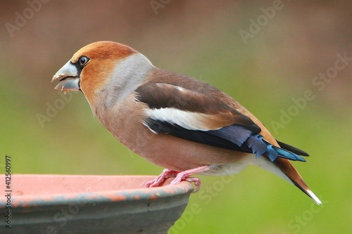 Obraz na plátne Close-up Of Hawfinch Perching On A Railing