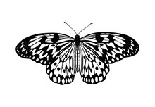 Idea Leuconoe (Rice Paper). Tropical Butterfly. Hand Drawn Insects. Vector Sketch Detailed Illustration.