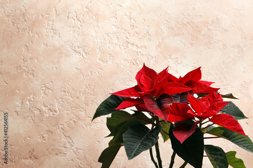 Obraz Poinsettia (Christmas flower) on a colored textural background with space for text. - fototapety do salonu