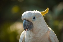 Sulfur Crested Cockatoo Is A Large White Cockatoo With White Plumage, White Skin, Grey Feet, A Black Bill & A Retractile Yellow Crest