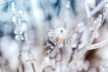 Ice Flower - Dry Flower And Stem Covered With A Thick Layer Of Ice With A Beautiful Winter Bokeh.