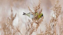 Birds - Eurasian Siskins ( Spinus Spinus ) Are Sitting On Dry Grass And Eats Last Year's Seeds. Cloudy Winter Day.