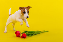 Jack Russell Terrier Puppy With A Large Bouquet Of Red Tulips On A Yellow Background. Horizontal Greeting Card With International Womens Day On March 8th.